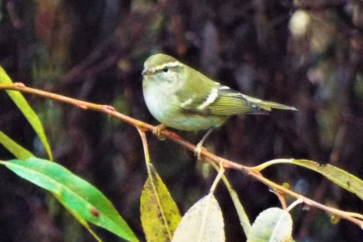 Birders flocking to Greater Victoria after rare warbler sighting