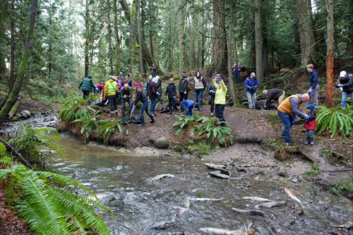 Annual Salmon Carcass Transplant draws Saanich residents to Douglas Creek